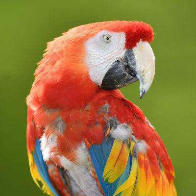 Papegojan från Pippi på de sju haven, Douglas har dött.