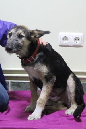 Koira peiton päällä sisätiloissa Romaniassa