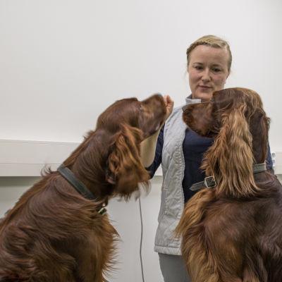 Eläinlääkäri Suvi Kosonen ruokkimassa kahta irlanninsetteriä.