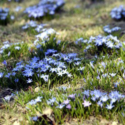 Blommorna blommar i värmen i Edesviken, Helsingfors.