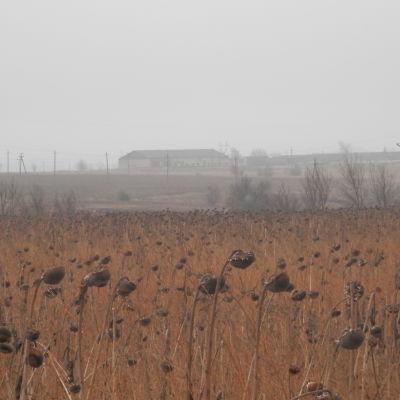 Ett solrosfölt som inte skördats i östra Ukraina
