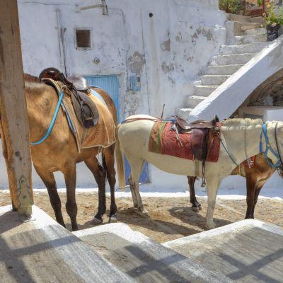 Åsnor används som transportmedel på Santorini.