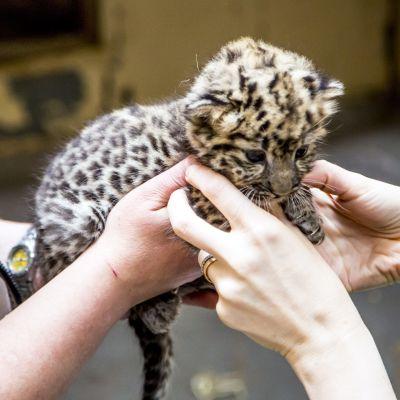 Sällsynt amurleopard född i Högholmens djurpark i Helsingfors