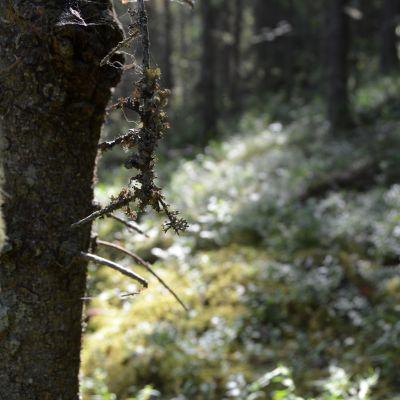 Vanhasta puusta kasvaa ties mitä.