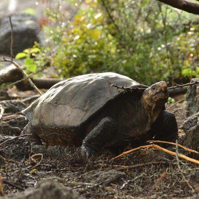 En jättesköldpadda, som ansågs utrotad, har påträffats på Galápagosöarna.