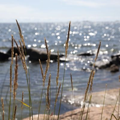 Meren rantakaislikkoa.