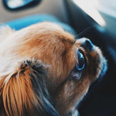 En hund i profil.