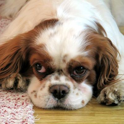 Hund på mattan.
