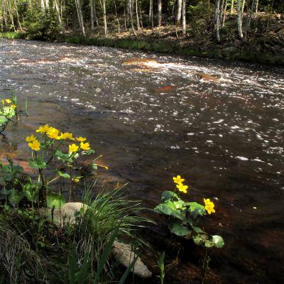 Norra ån i Purmo.
