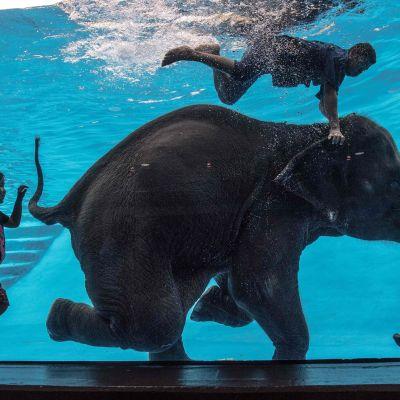 En elefant uppträder under vattnet på ett zoo i Bangkok.