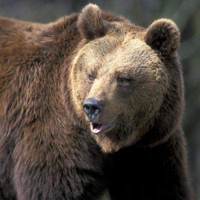 Björnen är Europas största rovdjur