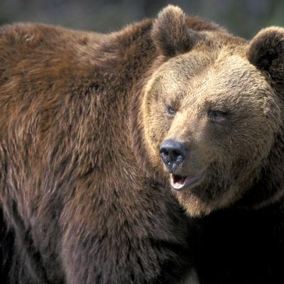 Eläimet. Pohjois-Amerikan eläimet. Nisäkkäät. Petoeläimet. Karhut. Karhu (ruskea karhu, maakarhu).
