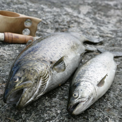 Två fiskar på en klippa