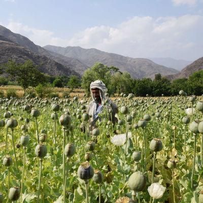 En man på ett opiumfält i Dara-i Mazor i Afghanistan.