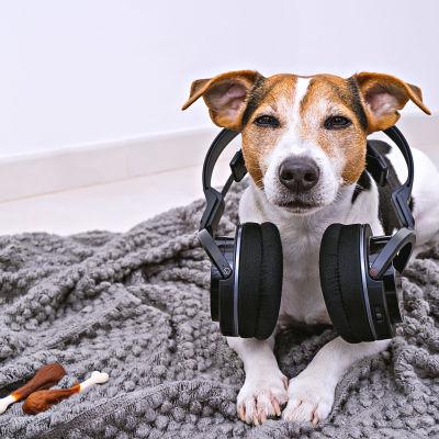 Hund med hörlurar.