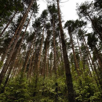 Paljon isoja mäntyjä kurottelee kohti taivasta metsässä.