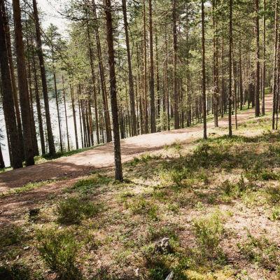 Mäntyjä harjun laella, polku mäntyjen välissä, taustalla järvi, Suomussalmen Soivassa Metsässä.