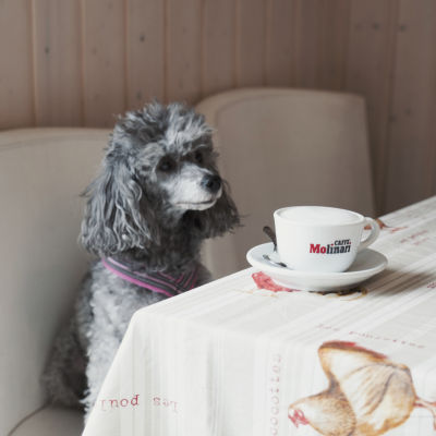 Harmaa, kiharaturkkinen koira istuu kahvilapöydässä edessään suuri kahvikuppi.