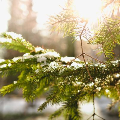 kuusen oksa auringossa lumisessa metsässä