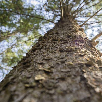 puun runko