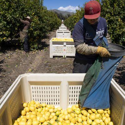 """Citroner skördas i Kalifornien 27.3.2020.""""Nödvändiga"""" arbetare behövs för att trygga försörjningen i USA under coronakrisen. Lantarbetare har nu stor betydelse."""