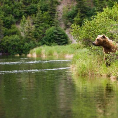 Karhu joen rannalla