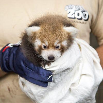 Röd panda aka kattbjörn föddes i juli 2018 på Högholmen.