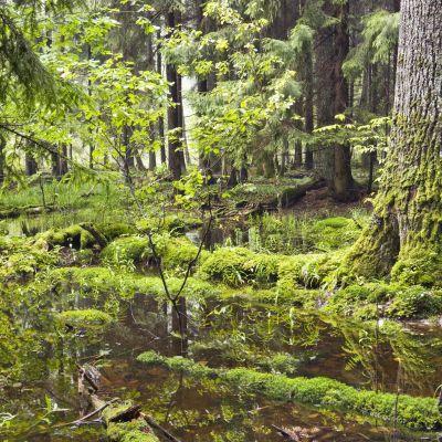 Białowieżaskogen i Polen