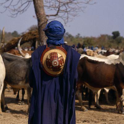 En man står och tittar ut över boskap i Mali.