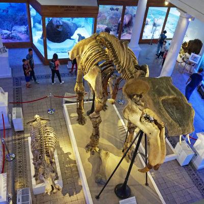 Elefantsläktet Deinotherium på Grigore Antipa Natural History Museum i Rumänien.