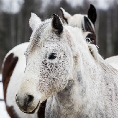 Vit häst som står i en hage tillsammans med en annan häst som syns i bakgrunden.