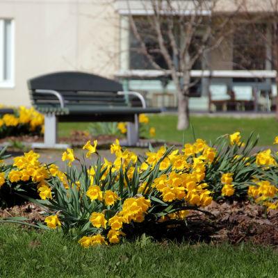 Påskliljor i parken.
