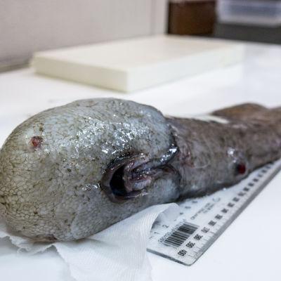 Den ansiktslösa fisken.