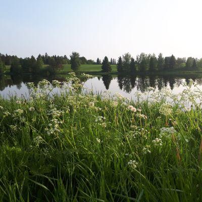 Kuva kesäisestä maisemasta, jossa etualalla kasveja, keskellä tyyni joki ja sen takana vihreää nurmea ja sekalaisesti puita.