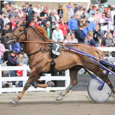 Hevonen nimeltä Sheikki juoksee.