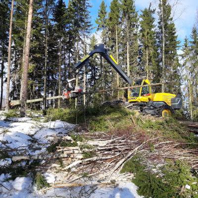En skogsmaskin fäller träd i en skog.