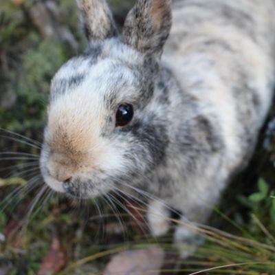 En svart/vit/beige-spräcklig kanin.