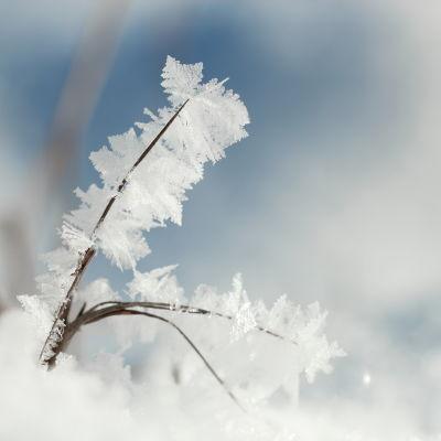 Ett grässtrå som har täckts av rimfrost.