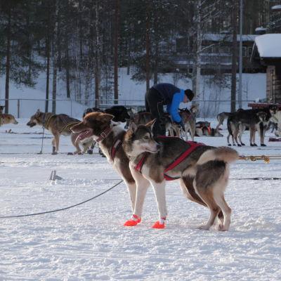 Huskeja koiravaljakon sm-kisoissa Kuhmossa.