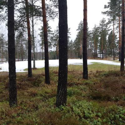 Träd och mossa som delvis är täckt med snö.