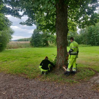 Gammalt träd i park.