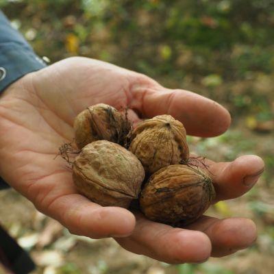 saksanpähkinöitä kämmenellä