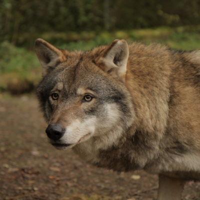 Ähtärin eläinpuiston susi