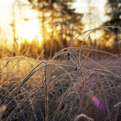 Frost i gräset i soluppgången