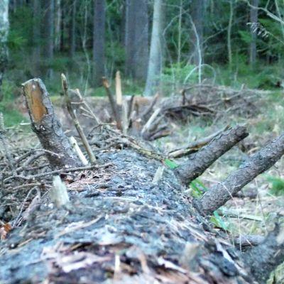 En gran som ligger på marken. Grenarna är brutna. Grön natur i bakgrunden.