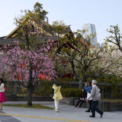 Körsbärsblom i Japan