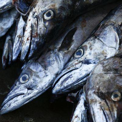 Makrill fångad i Kapstaden