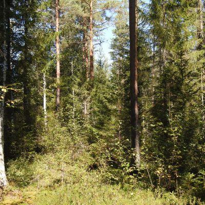 Tiheää metsää.