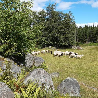 Lampaat laiduntavat perinnemaisemassa.