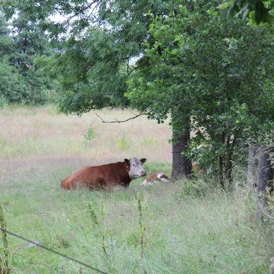 En ko på Högsåra.